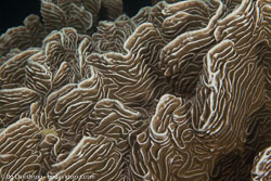 BD-140313-Padre-Burgos-1681-Pachyseris-sp.-Milne-Edwards---Haime.-1849-[Serpent-coral].jpg